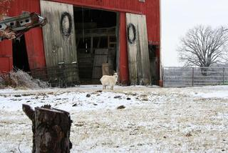 Red-Barn-And-Goat-In-The-Snow-15558554.jpg