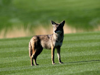 Coyote spotted on Butler University campus