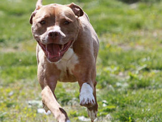 Colorado family's pit bulls found decapitated