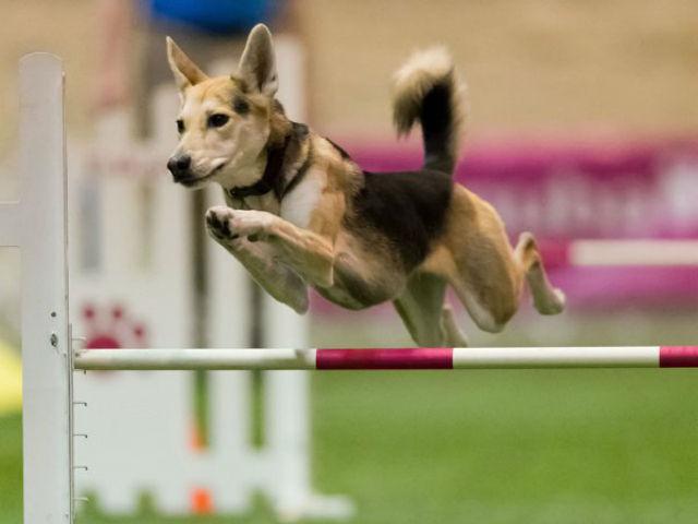 Agility Dogs Breeds Dog Show's New Agility