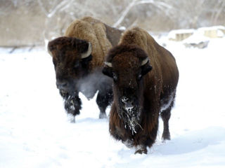 VOTE: OK group pushes for bison license plate
