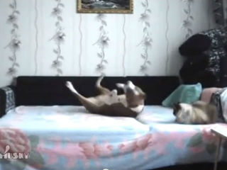WATCH: Disobedient dog joyfully plays on bed