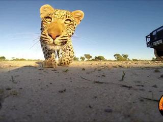 VIDEO: Leopard has fun with GoPro camera