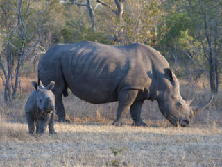 South African park considers rhino evacuation