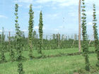 Farmers grow Indiana hops for Indiana beer