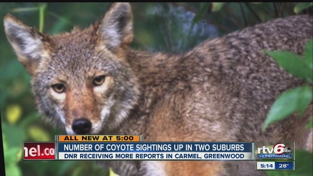 Coyote Sightings in Indiana