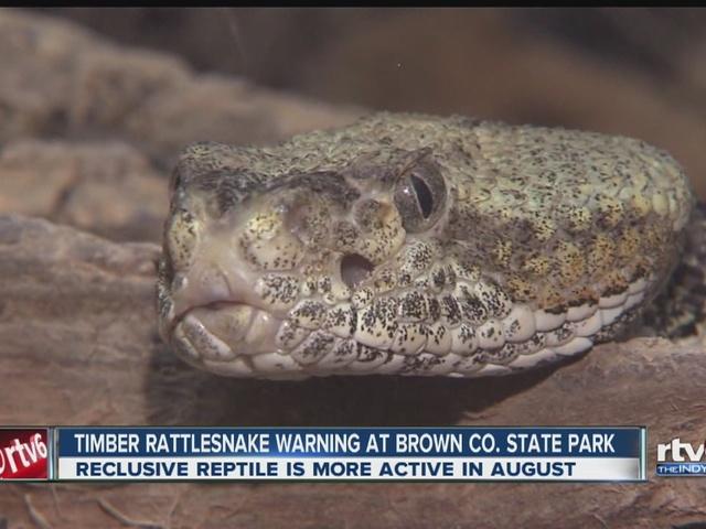 Rattlesnake in Indiana: Endangered rattlesnakes seen in Ind. state ...