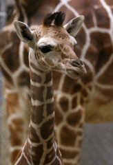 PICS: Adorable baby giraffe turns 1 month old
