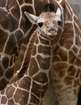 PICS: Adorable baby giraffe turns 1 at Indy zoo