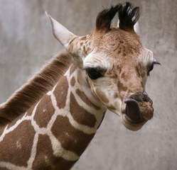Help name new giraffe calf at Indianapolis Zoo