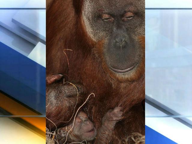 indianapolis zoo orangutan essay