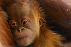Help name the zoo's adorable baby orangutan