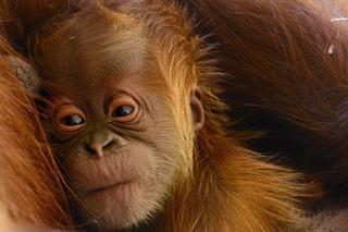 Help name the zoo's adorable baby orangutan