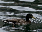 City plans duckling ramps after birds drown