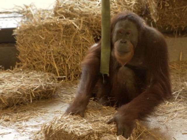 Orangutan at Indianapolis Zoo inspires study sparking discovery on…