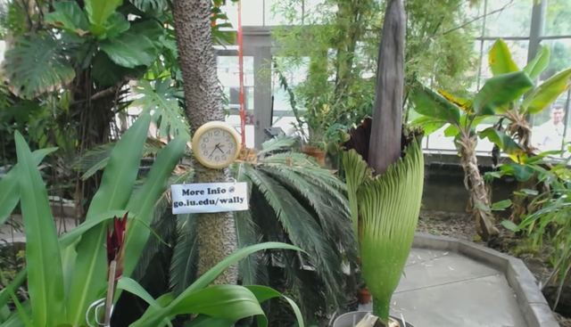 IU's corpse flower blooming for first time
