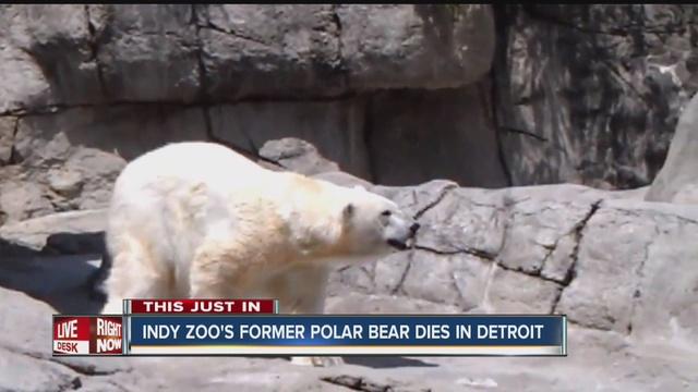 Former Indianapolis Zoo polar bear, Tundra, dies at Detroit zoo