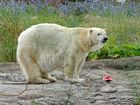 Former Indy Zoo polar bear, Tundra, has died
