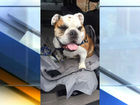 Butler Bulldog mascot has injured hind leg