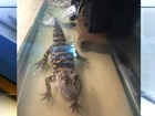 Two-foot gator found during unrelated arrest