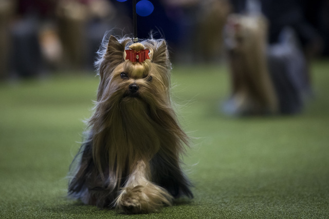 show dogs - photo #30