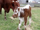 Rare English Longhorn born at Conner Prairie