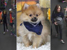 3-month-old Pomeranian stolen in Fishers