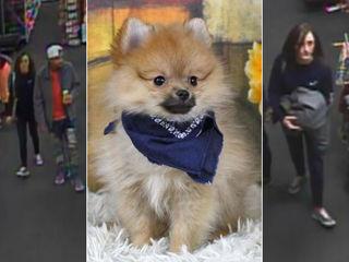 Fishers: Stolen 3-month-old Pomeranian found