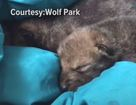 Ind. wolf sanctuary welcomes 5 newborn pups