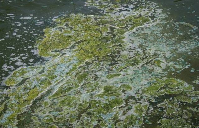 Environment ministry issues blue-green algae warning for Lake Scugog
