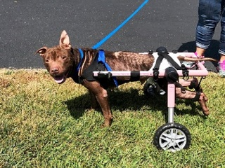 Dog lost use of hind legs, given wheelchair