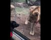 WATCH: Lions try to attack service dog at zoo