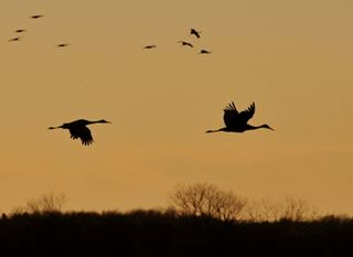 Thousands of Sandhill Cranes headed for Indiana