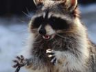 Frantic owner brings stoned raccoon to firehouse
