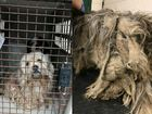 1 dog put down, 17 rescued from extreme hoarder