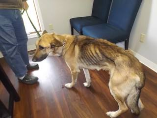 No charges coming for malnourished dog's death