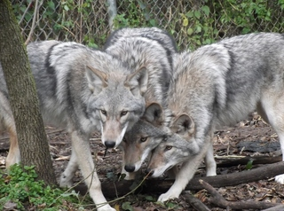 What's a coywolf? One's been spotted in the area