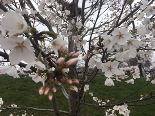 PICS: Cherry Blossoms tease Spring's arrival
