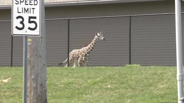 Giraffe returns after escaping zoo exhibit
