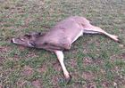 Noblesville man charged in 3-legged deer's death
