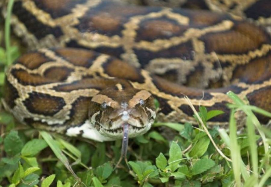 14 Foot Burmese Python Named Vine Escapes From Beech Grove Captured Returned Home