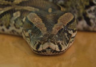 Missing Beech Grove python likely close to home