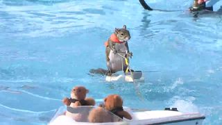 WATCH: Twiggy the water skiing squirrel