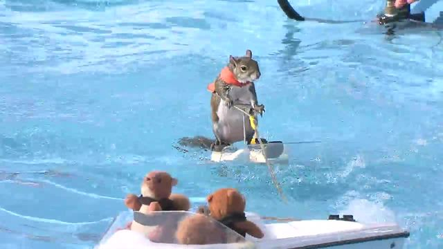 Twiggy the Water Skiing Squirrel is at the Marion County Fair