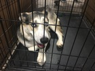 IndyHumane taking in 60 dogs from El Paso, Texas