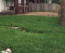 Indy man upset neighbor's chickens run loose