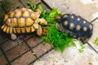 2 missing Indianapolis tortoises found