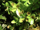 Boxwood blight fungus found in Indiana