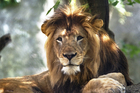 Lion killed by other lion at Indianapolis Zoo