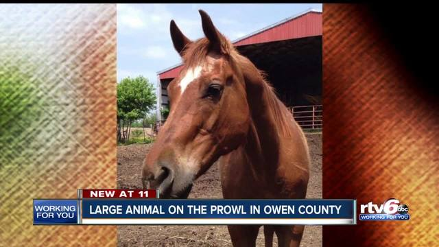 vet warns of large cat on the prowl after horse attacked killed in